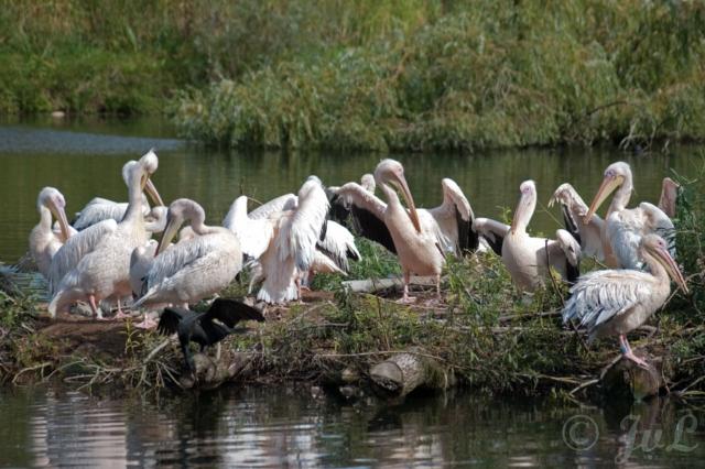 10-Groep pelikanen