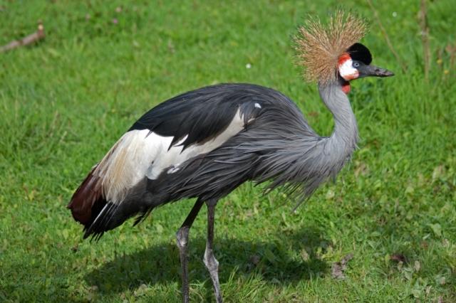 13-Afrikaanse Kraanvogel