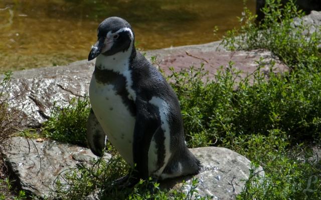16-Pinguin