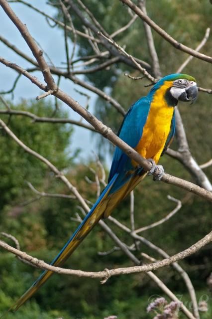 21-Blauw Gele ara