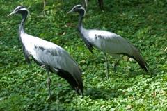 07-Juffer kraanvogels