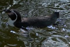 17-Pinguin