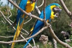 22-Blauw Gele ara