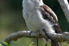 25-IJsvogel