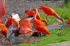 28-Rode ibissen